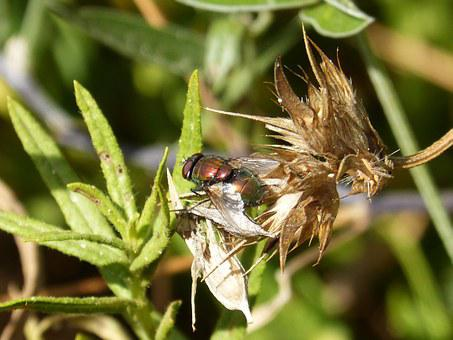 Botfly, Nuisance, Red Fly