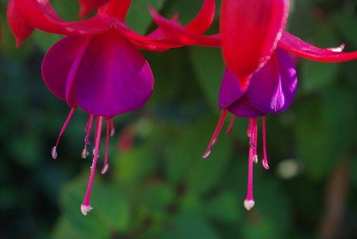 Fuchsia, Plant, Flower, Garden, Balcony Plant