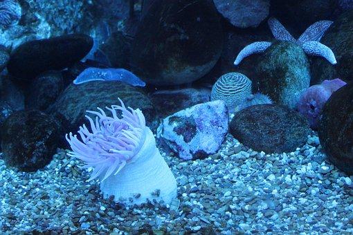 Anemone, Sea, Sea Animal, Aquarium, Underwater, Reef