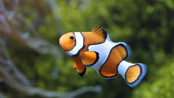 Clownfish, Anemonefish, Fish, Sea, Nemo, Orange, White