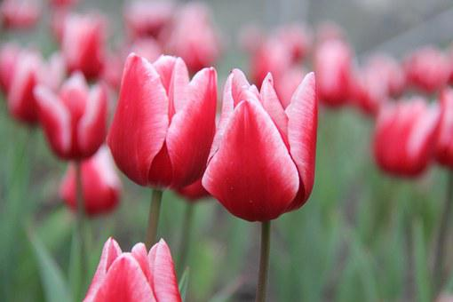 Tulips, Sea Of Flowers, Flowers, Love, Red Tulips