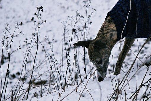 Dog, Snow, Hunt, Scrub, Sniffing, Dog In The Snow