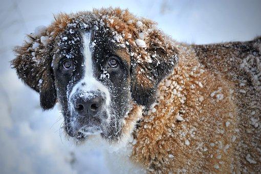 St Bernard, Dog, Pet, Canine, Snow, Animal, Fur, Snout