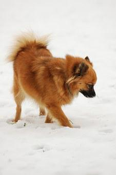 Pointed Tip, Dog, Snow, Winter, Dog In The Snow
