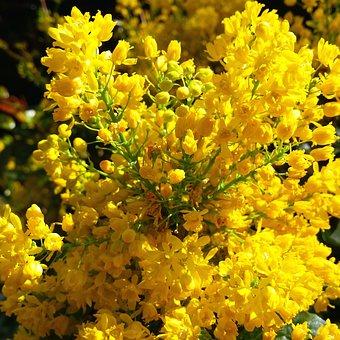 Forsythia, Flowers, Bushes, Spring, Garden