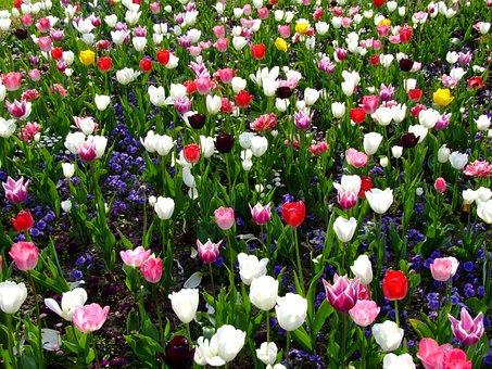 Flowers, Spring, Tulips, Flower Bed, Tulip Sea
