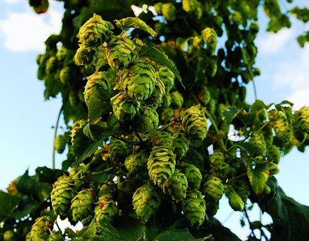 Hops, Craftbeer, Ipa, Locally Grown, Upstate Ny