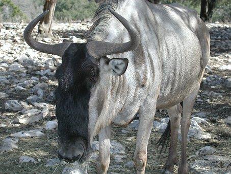 Wildebeest, White Bearded, Animal, Horns, Kenya, Africa