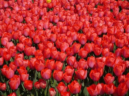 Red, Tulip, Yokosuka, Sea Breeze Park, Spring, Aroma