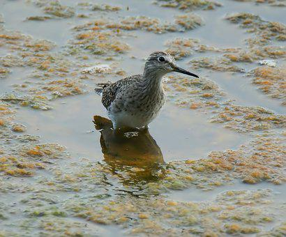 Bird, Wildlife, Nature, Water, Shorebird, Animal, Marsh