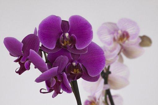 Orchid, Phalaenopsis, Blossom, Bloom, Flower, Violet
