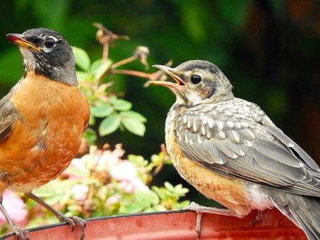 Bird, Wildlife, Nature, Animal, Feather, Robin