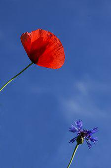 Wolf, Poppy, Cornflower, Heaven, Field, Sky, Flower