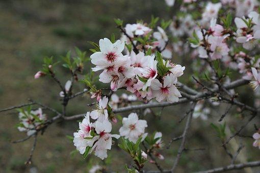 Flower, Tree, Plant, Nature, Almond