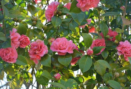 Camellia Pink Flower, Flower, Plant, Nature, Leaf