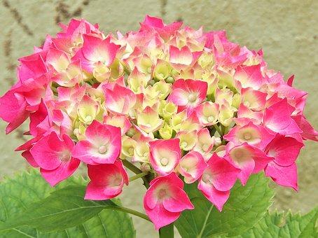 Hydrangea, Pink, Hydrangea Bush, Single Flower, Flowers