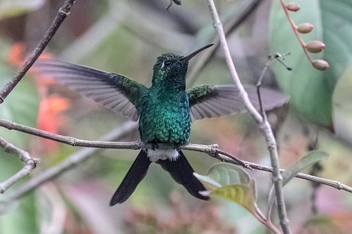 Cuba, Cienaga De Zapata, Hummingbird, Green Emerald