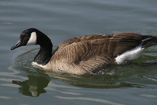 Bird, Duck, Goose, Wildlife, Water, Lake, Waterfowl