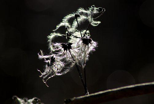 Nature, Clematis, Seeds, Sunlight, Tender, Macro, Hairy