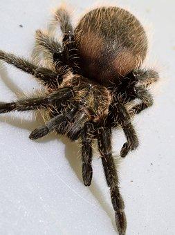 The Curly Hair Tarantula, Spider, Macro, Close Up