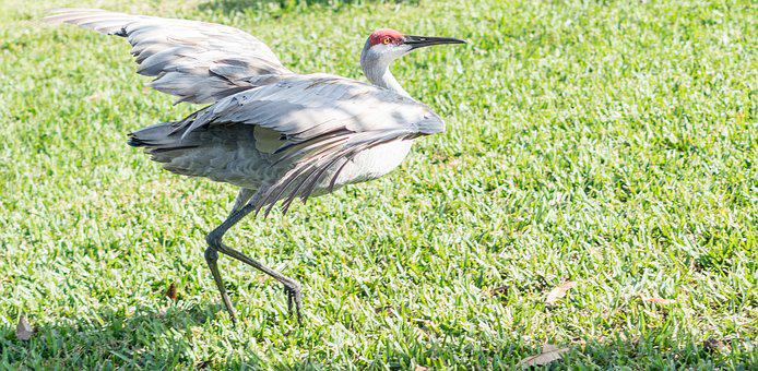 Sand Hill Crane, Endangered, Florida, Bird, Nature