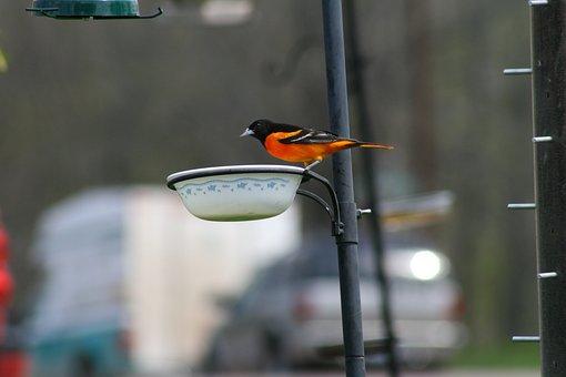 Outdoors, Nature, Bird, Wildlife, Songbird, Wing