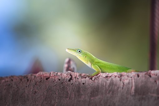 Lizard, Nature, Wildlife, Outdoors, Reptile, Side View