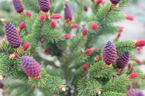 Needle, Pine, Cone, Tree, Evergreen, Nature, Flora