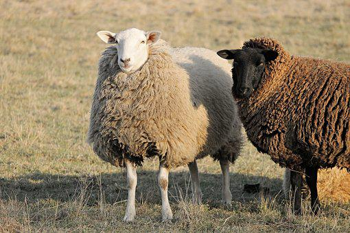 Sheep, Livestock, Two Sheep, Winter Wool, Portrait