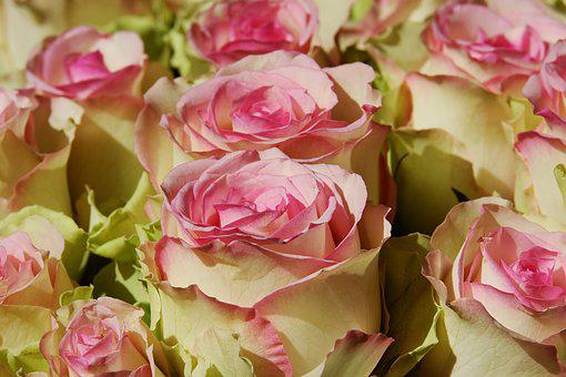 Roses, Noble Roses, Esperance Roses, Flower, Blossom
