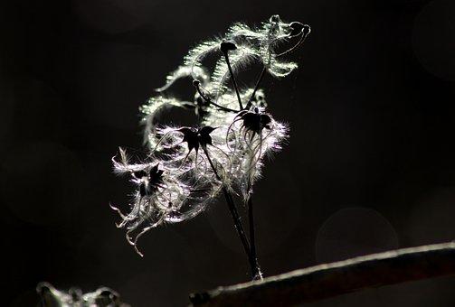 Nature, Clematis, Seeds, Sunlight, Tender, Macro, Hairy