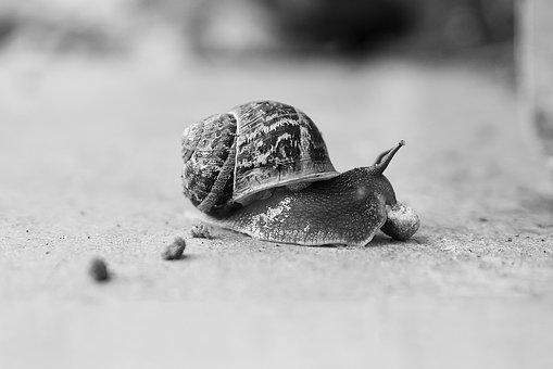 Slow, Snail, Nature, Gastropod, Animal, Desktop