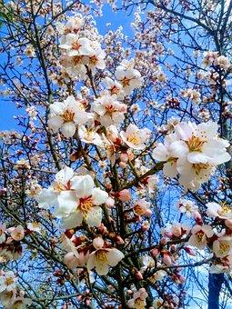 Branch, Almond Tree, Spring, Flower