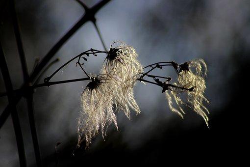 Nature, Close, Sunlight, Clematis, Macro, Plant, Seeds