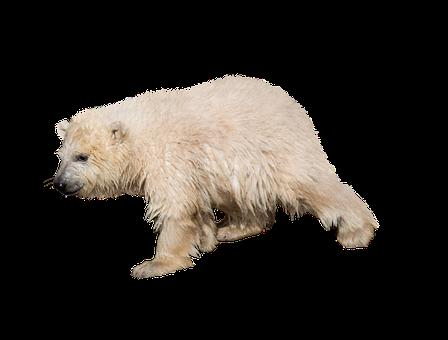 Polar Bear, Isolated, Predator, Zoo, Bear, Nature