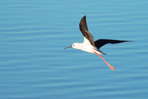 Black-winged Stilt, Bird, Nature, Water, Animal
