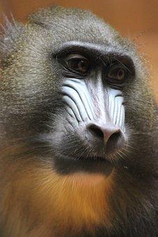 Monkey, Animal World, Primate, Animal, Mammal, Mandrill