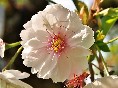 Blossom, Bloom, Cherry Blossom, White-pink Flower