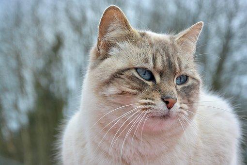 Cat, Pussy Nala, Portrait, Blue Eyes, Companion, Pet