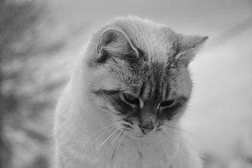 Cat, Cat With Head Down, Photo Black White, Pussy Nala