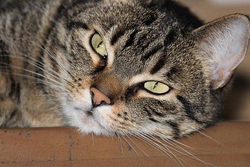 Cat, Animal, Mammal, Fur, Cute, Portrait, Tiger Cat
