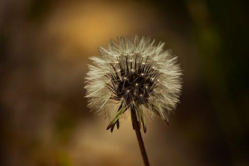 Nature, Flora, Flower, Summer, Dandelion, Spring
