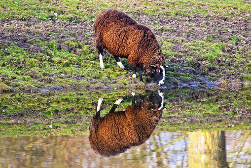 Sheep, Animal, Mammal, Livestock, Ewe, Ovis Aries