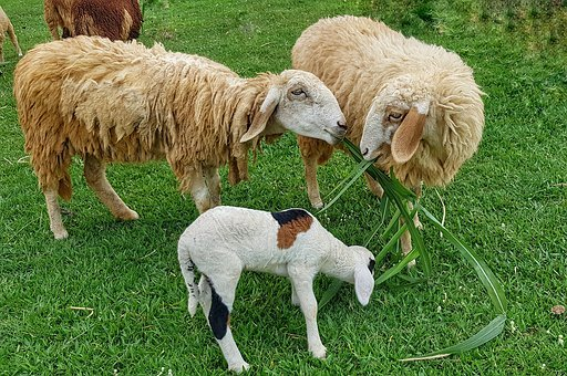 Sugarcane, Eating, Sheep, Family, Grass, Farm, Lamb