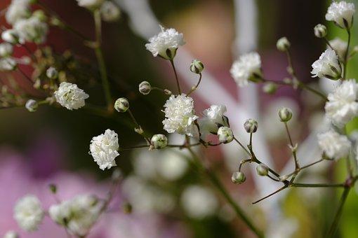 Gypsophila, Rispige Gypsophila, Gypsophila Paniculata