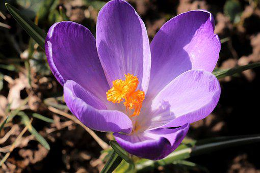 Nature, Flower, Plant, Garden, Crocus, Close, Macro