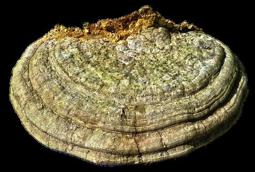 Tree Fungus, Mushroom, Sponge, Parasite