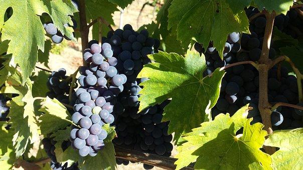Fruit, Vine, Wine, Grape, Nature, Vineyard, Winery