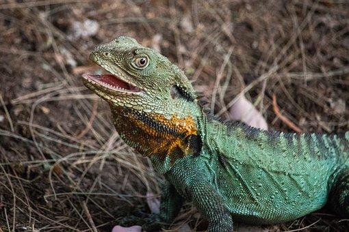 Lizard, Reptile, Nature, Wildlife, Animal, Exotic, Wild