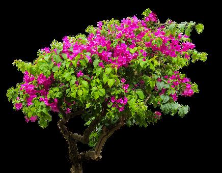 Nature, Tree, Bougainvillea, Plant, Bush, Sand